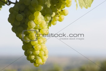 Sunny cluster of green grapes on vine