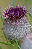 Dolomites flower