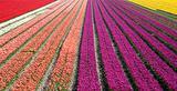 tulip field 33
