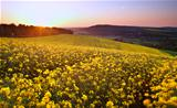 Sunrise landscape over rapeseed field in Spring