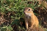 prairie dog in the grass