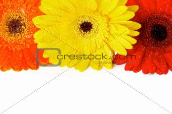 Red, Orange and Yellow gerbera flowers