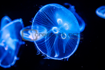 Fluorescent Jellyfish