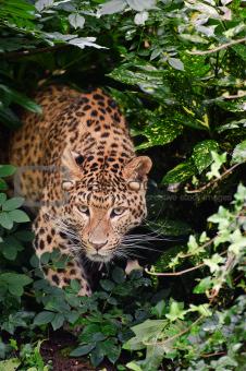 Beautiful leopard Panthera Pardus big cat amongst foliage