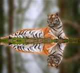 Beautiful tiger laying down on grassy bank reflection in water