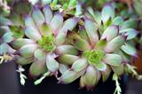 sempervivum houseleeks