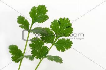 Fresh Cilantro Herb