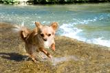 puppy chihuahua in the river