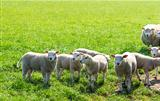 Flock of sheep standing in a field waiting