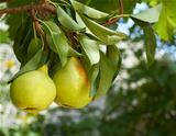 pears on natural background