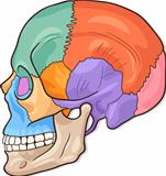 Human Skull Diagram Illustration