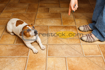 Jack Russell Terrier lying beside it's accident while being scolded