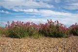 Red Valerian on Aldeburgh Beach, Suffolk, England