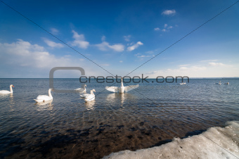 Swans at the Shore in Winter