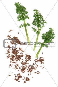 Caraway Seed and Leaf Sprigs