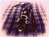 dalmatian black violet