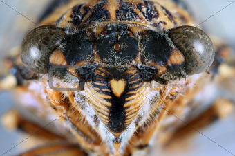 Cicada Head Close Up