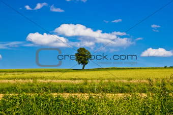 Single tree on yellow field