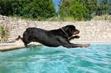 plunging rottweiler