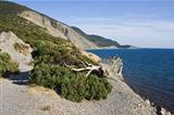 Juniper tree at the Black Sea shore