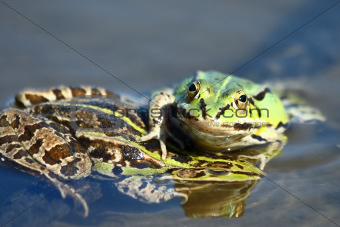 Edible green frogs are playing