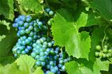 Merlot Grapes