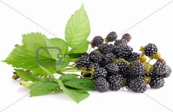 blackberry berries on branch with green leaves