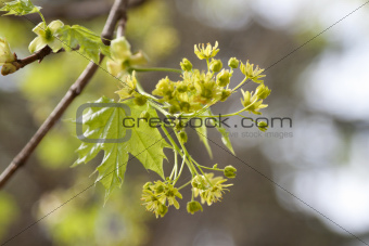 green maple blooms