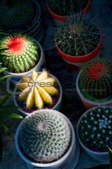 colorful cacti cactus plants