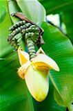 banana flower blossom
