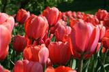 closeup of beautiful tulips