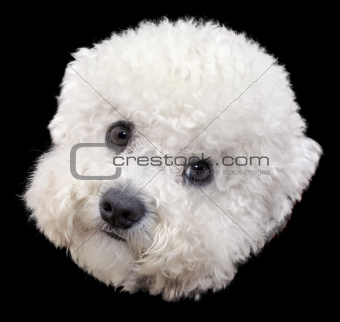 Bichone Frise Head Cutout