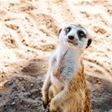 A Meerkat or suricate