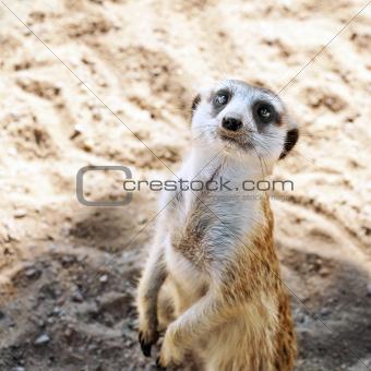 A Meerkat or suricate