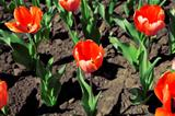 Bright red tulips in warm spring day