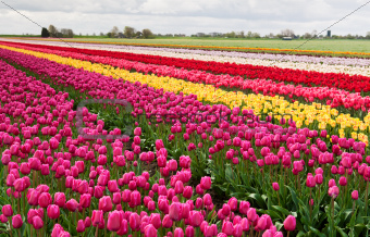 colorful rows of tulips