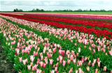many tulips outdoors