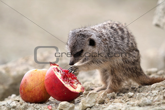 Meerkats eat a pomegranate