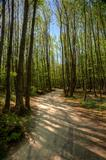 Path leading through beech tree forest with bright sunlight