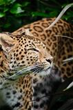Beautiful leopard Panthera Pardus big cat amongst foliage