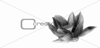 Beautifully detailed scared lotus flower in monochrome isolated
