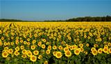 A field of sunflowers.