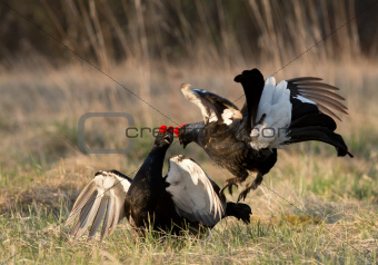 Fighting black grouse (Tetrao tetrix).
