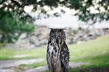 Wet Eagle-Owl