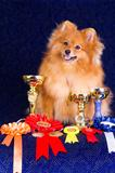 Pomeranian with awards