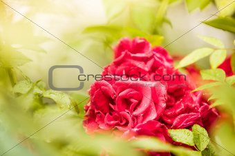 Landscape view of roses in nature between thorns