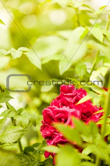 Portrait view of roses in nature between thorns