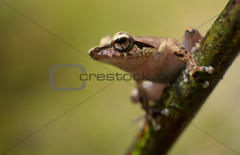 Shrub Frog ready to make a leap