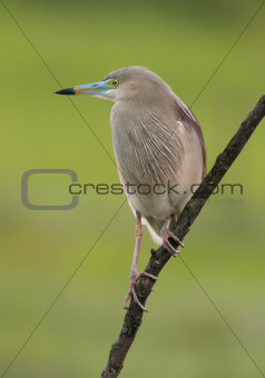 Indian Pond heron (Ardeola grayii) in breeding colors perched on