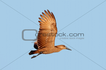 Hamerkop bird in flight